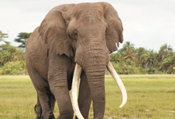 Africa's tragedy: Slaughtering jumbos for ivory.