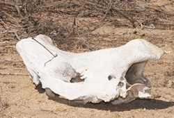 Rhino horn smuggling and the lifting of the ban on trade.